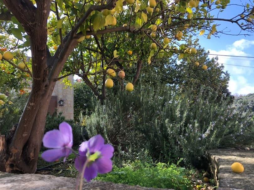 Ο χειμώνας άνθισε με το πρώτο του λουλούδι, την ανεμώνα στο Αρκάδι της Κρήτης