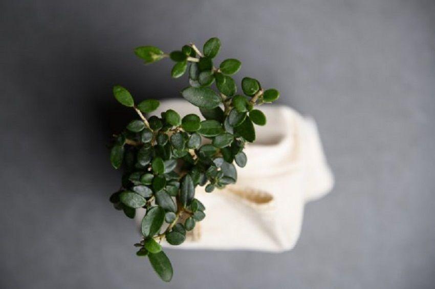 Made In Greece το μπονσάι-ελαιόδεντρο Plantbox: Η Start Up του Βασίλη Τσιπά που ταξιδεύει σε όλο τον κόσμο
